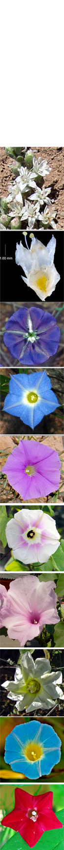 20612 Convolv banner2 - Convolvulaceae (morning glories) of Sonora, Mexico