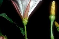 Convolvulus arvensis; Photo credit: Daniel F. Austin (2)