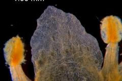 Cuscuta obtusiflora var. glandulosa, corolla lobe and stamens