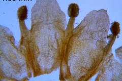 Cuscuta obtusiflora var. glandulosa, corolla dissected