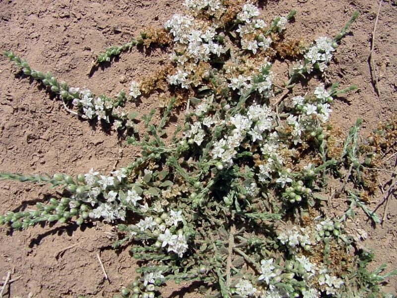 Cressa truxillensis; Photo credit: Richard Felger