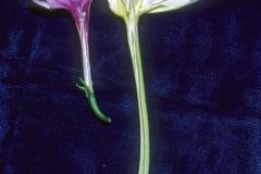 Ipomoea alba vs. I. muricata; Photo Credit: Daniel Austin