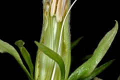 Ipomoea ampullacea; Photo Credit: Andrew McDonald