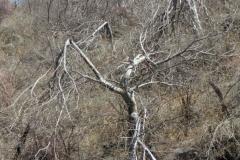 Ipomoea arborescens, freeze-damaged trees; Photo credit: Tom Van Devender