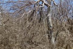 Ipomoea arborescens, freeze-damaged trees; Photo credit:Tom Van Devender