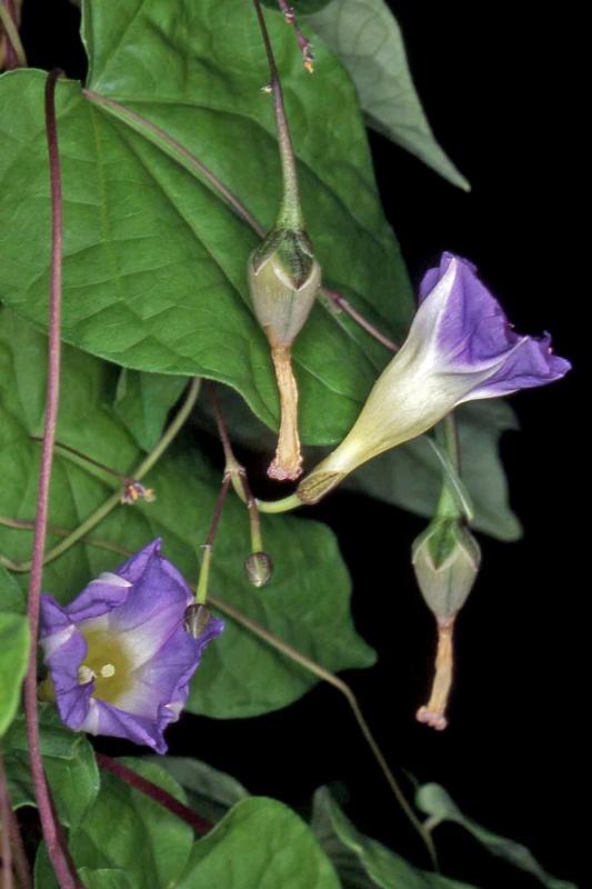 Ipomoea aristolochiaefolia; Photo credit: Andrew McDonald