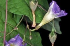 Ipomoea aristolochiaefolia; Photo credit: Andrew McDonald