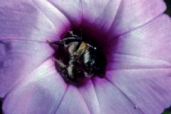 Ipomoea batatas; Note the bee! Photo credit: Daniel Austin (2)