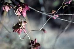 Ipomoea bracteata; Photo credit: Tom Van Devender (1)