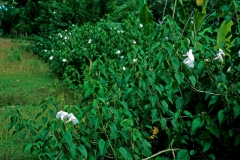 Ipomoea carnea subsp. fistulosa; Photo credit: Daniel Austin (3)