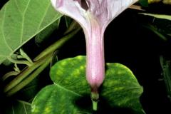 pomoea carnea subsp. fistulosa; Photo credit: Daniel Austin (4)