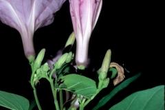 Ipomoea carnea subsp. fistulosa; Photo credit: Daniel Austin (5)