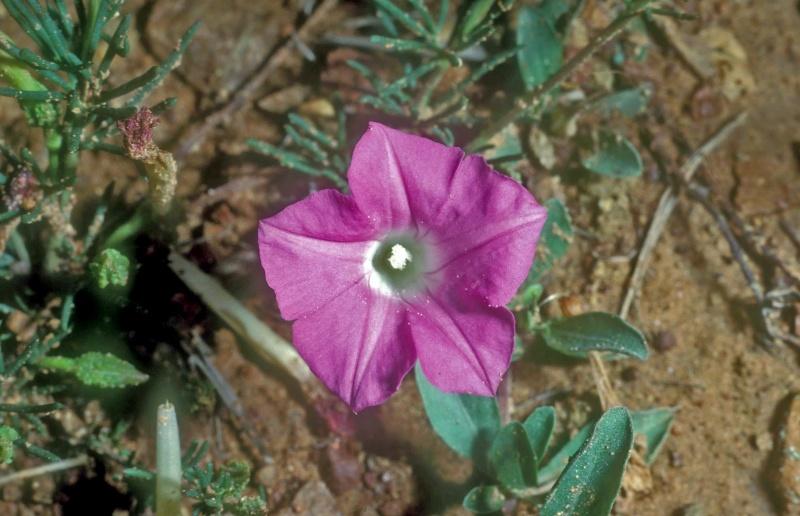 Ipomoea capillacea; Photo credit: Daniel Austin
