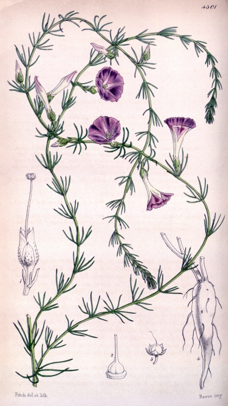 Ipomoea capillacea; Source: Curtis's Botanical Magazine 73: tab. 4301. 1847