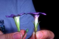 Ipomoea cardiophylla vs. I. hederacea; Photo credit: Daniel Austin