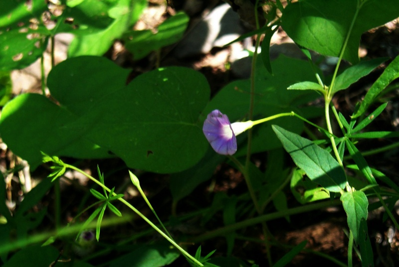 Ipomoea_costellata_south_of_Arizpe_1
