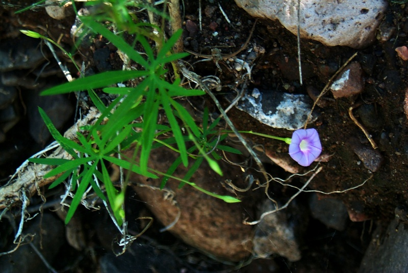 Ipomoea_costellata_south_of_Arizpe_2
