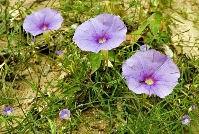 Ipomoea costellata & I. ternifolia var. leptotoma (larger flowers); Credit: T.  Van Devender
