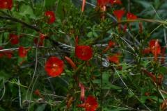 Ipomoea cristulata; Photo credit: Michael Chamberland