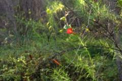 Ipomoea cristulata; Photo credit: Jesús Sánchez-Escalante (2)