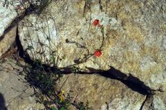 Ipomoea cristulata; Photo credit: Jesús Sánchez-Escalante (3)