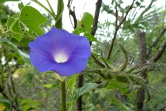 Ipomoea hederacea; Photo credit: Ana Lilia Reina-Guererro