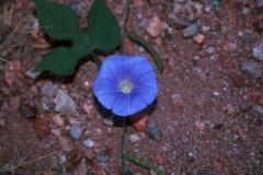 Ipomoea hederacea; Photo credit: Laura Moreno