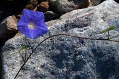 Ipomoea hederacea; Photo credit: Jesús Sánchez-Escalante (2)