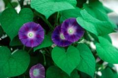 Ipomoea purpurea; Photo credit: Daniel Austin (1)