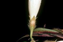 Ipomoea purpurea; Photo credit: Daniel Austin