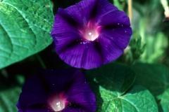 Ipomoea purpurea; Photo credit: Daniel Austin (2)