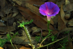 Ipomoea purpurea; Photo credit: Jesús Sánchez-Escalante (2)