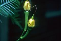 Ipomoea quamoclit; Photo credit: Daniel Austin (2)