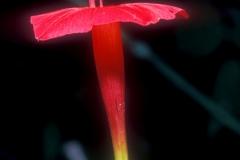 Ipomoea quamoclit; Photo credit: Daniel Austin (1)