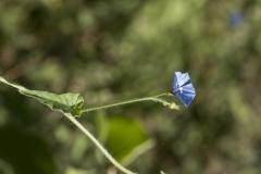 Jacquemontia agrestis; Photo credit: Richard Spellenberg