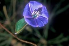 Jacquemontia pentanthos; Photo credit: Daniel Austin (1)