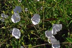 Jacquemontia polyantha; Photo credit: Daniel Austin