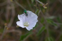 Jacquemontia polyantha and Augochlorid bee; Photo credit: Buzz Hoffman