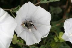 Jacquemontia pringlei; Photo credit: Jillian Cowles