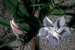 Ipomoea longifolia; Photo credit: Daniel Austin