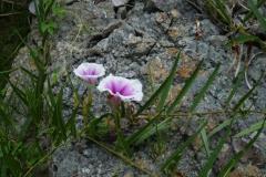 Ipomoea longifolia; Photo credit: Jesús Sánchez-Escalante (2)