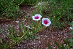 Ipomoea longifolia; Photo credit: Jesús Sánchez-Escalante (1)