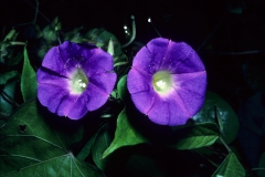 Ipomoea meyeri; Photo credit: Daniel Austin