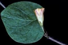 Ipomoea minutiflora; Photo credit: Andrew McDonald