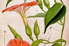 Operculina pteripes
