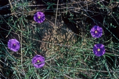 pomoea ternifolia var. leptotoma; Photo credit: Dan Austin (1)
