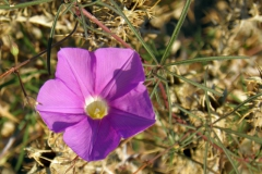 Ipomoea ternifolia var. leptotoma; Photo credit: T.R. Van Devender, A.L. Reina-G
