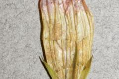 Ipomoea ternifolia var. leptotoma; Photo credit: Tom Van Devender