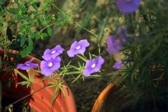 pomoea ternifolia var. leptotoma; Photo credit: Jesús Sánchez-Escalante