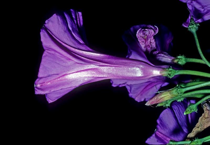 Ipomoea pedicellaris; Photo credit: Dan Austin